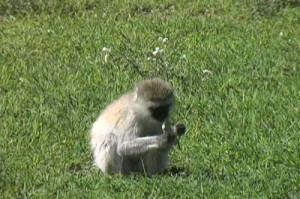vervet-monkey-eating-grass-in-the-serengeti-national-park-tanzania-africa