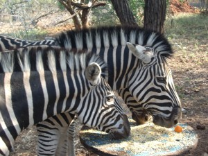 Zebra feeding in the garden