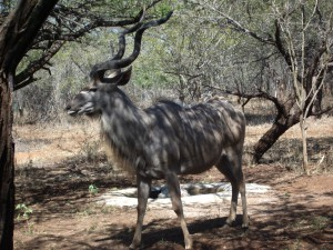 Kudu feeding at the house