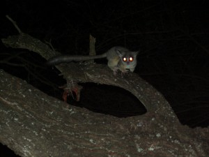 Bushbaby lives in the tree tops