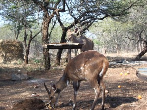 Kudu and bushbuck feeding at back of house
