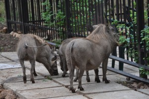 Warthogs at the cottage