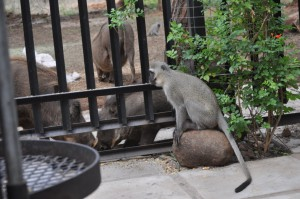 Monkey and warthogs at the cottage
