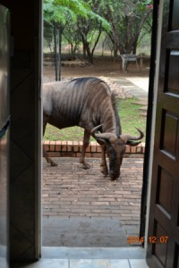 Wilderbeest at back door