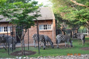 Zebra and Wilderbeest in the garden