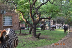 Zebra and Wilderbeest at the house