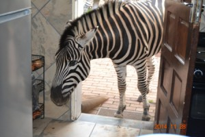 Naughty Zebra coming into house